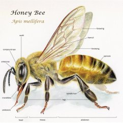 Hornet Anatomy Diagram Wiring For Drag Car Body Parts Of A Bee The Worker S