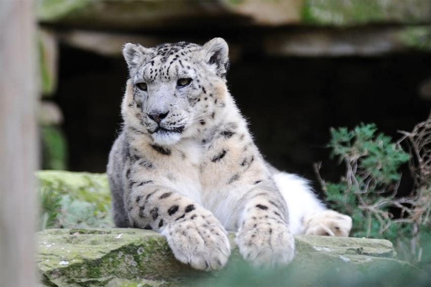 Uuliin the snow leopard