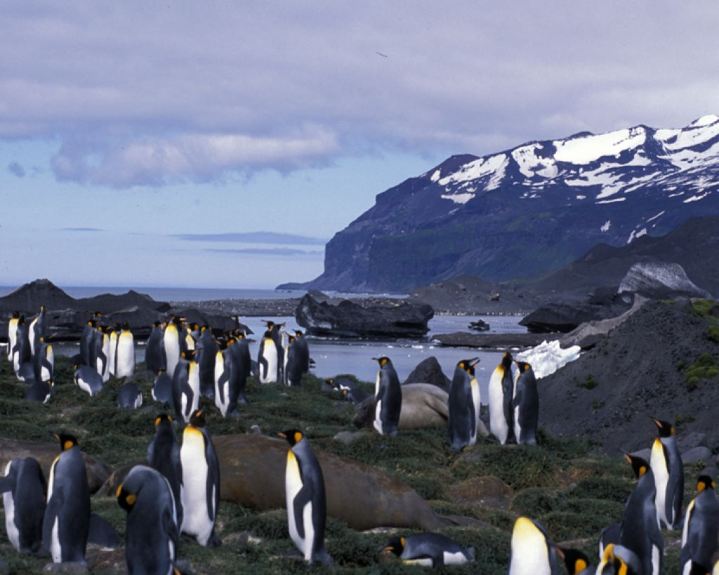 King penguins (Aptenodytes patagonicus) and elephant seals (Mirounga leonina) in front of Lambeth Bluff, Heard Island.  Image credit: Eric Woehler.
