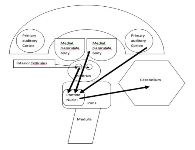 The Auditory System: What's the Cerebellum got to do with