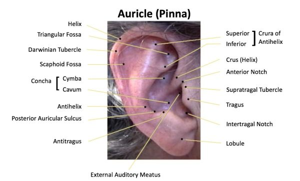 The Human Ear The Auricle Part 2Wayne StaabWayne39s World