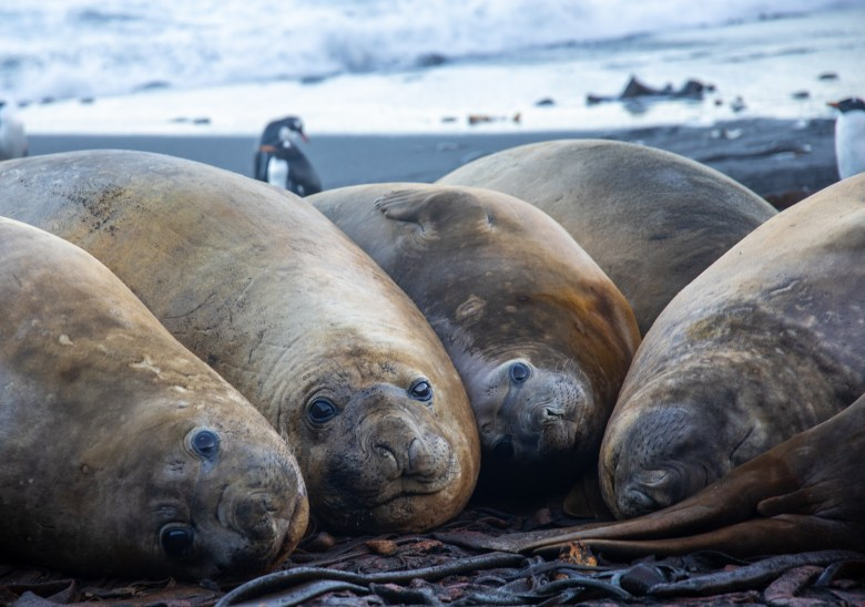 Elephant seals lounging on the Macquarie Island beach