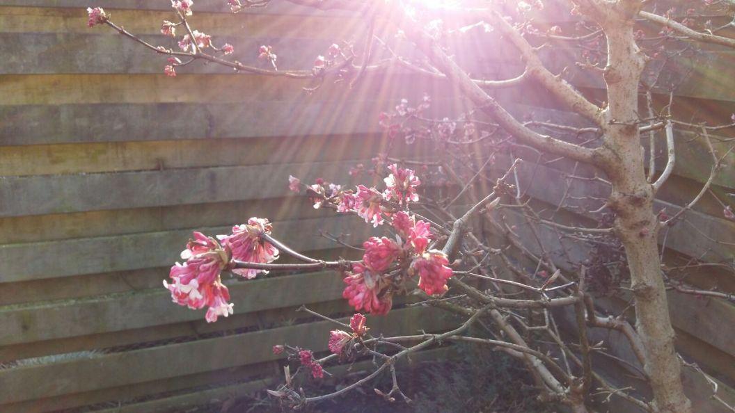 Voorzichtige voorjaarszon door een boom met roze bloesem