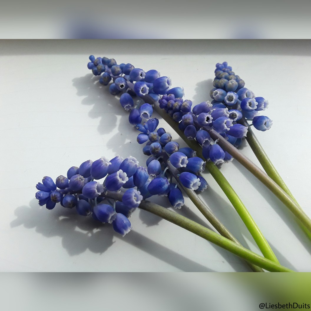 Blauwe druifjes op een witte achtergrond