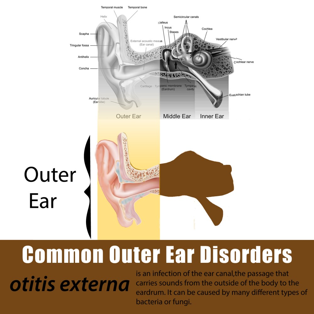 medium resolution of the ear is made up of three parts the outer ear includes the part you can see and the canal that leads to the eardrum the middle ear is separated from the