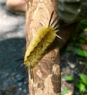 Image of a fuzzy yellow-and-brown caterpillar with black and white hairs sticking out of its body, positioned on a wooden stick. This photo was taken along a hiking trail, so there's faded grey and green in the background.
