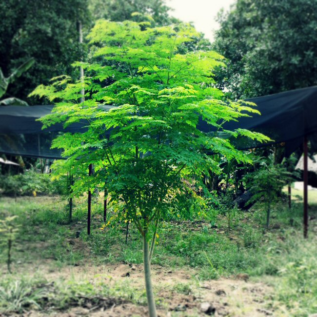 "The Moringa Tree - often referred to as the ""miracle tree"" due to the highly nutritional, medicinal and purifying properties"