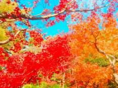 紅葉旧古河庭園〜ライトアップ六義園04