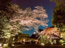 東京都庭園美術館桜02