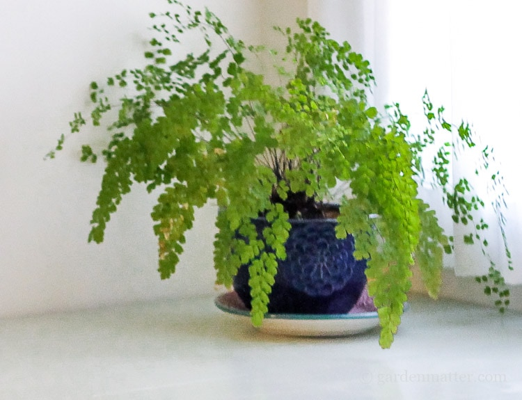 Maidenhair Fern A Hard to Kill Houseplant