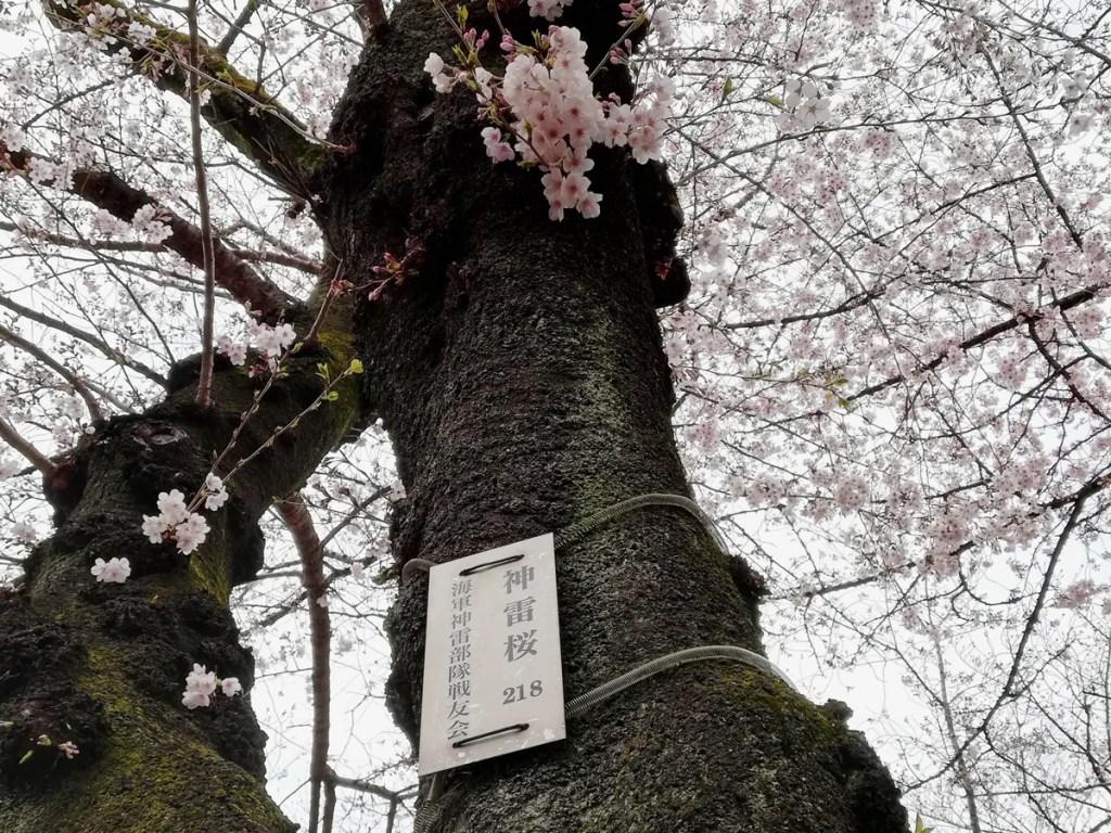 靖国神社の御神門を入って右の二番目の桜の木