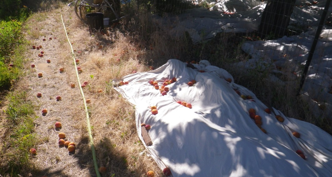 harvesting apricots with tarps