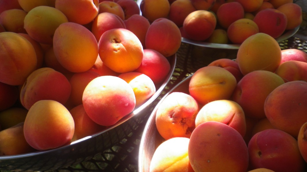 Close-up of harvested apricots