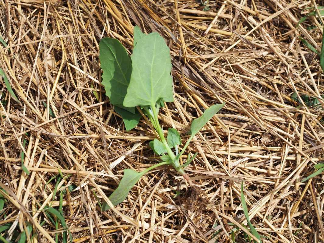 lambsquarters seedlings with roots full circle homestead kristina hicks-hamblin