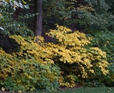 Spicebush reveals its golden fall color in October.