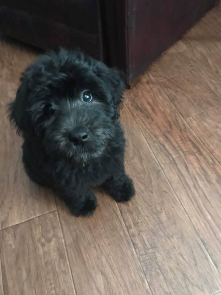 Black whoodle puppy on hardwood floors