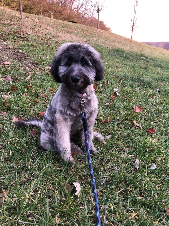 A grey whoodle puppy sitting in some grass