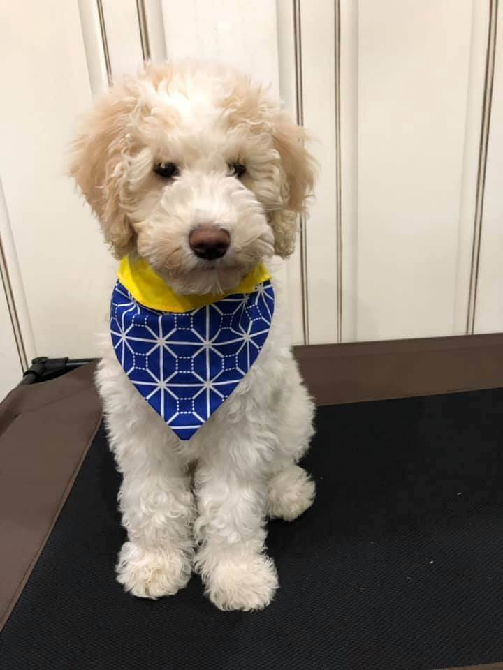 Tan and White Whoodle with a Blue Bandana in Kitchen.