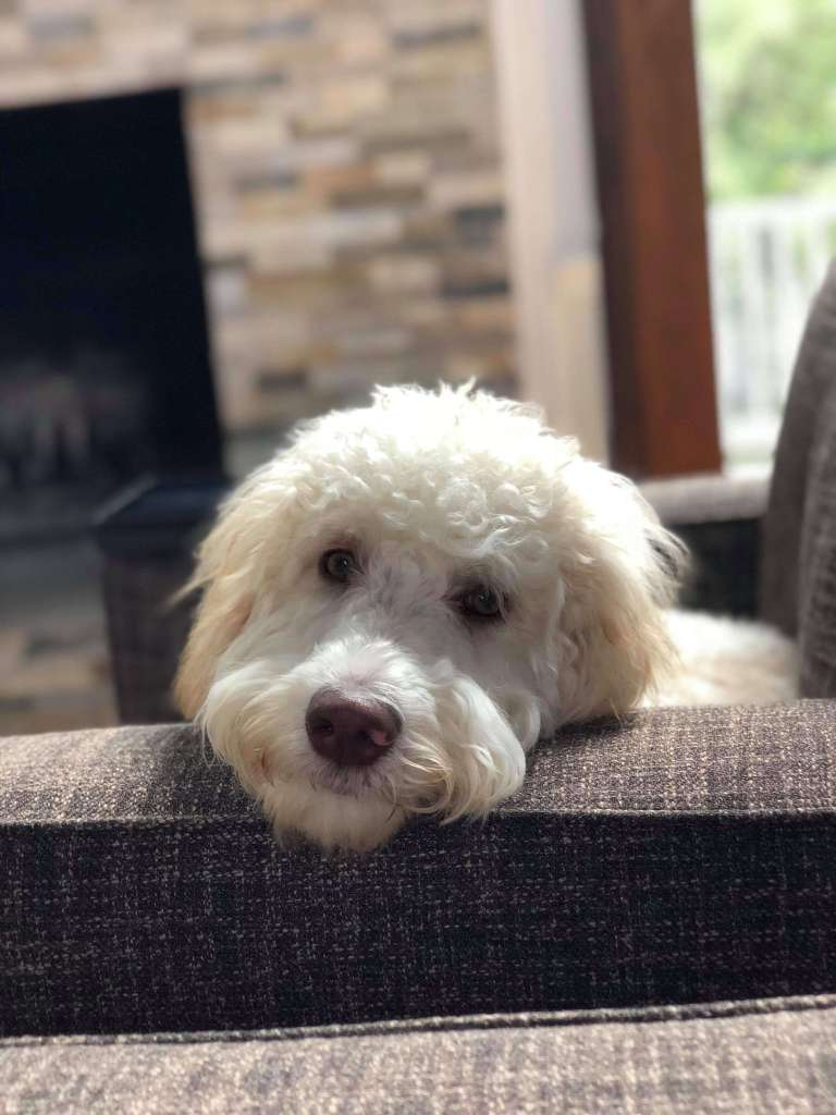 A white whoodle with his head laying on the back of the couch