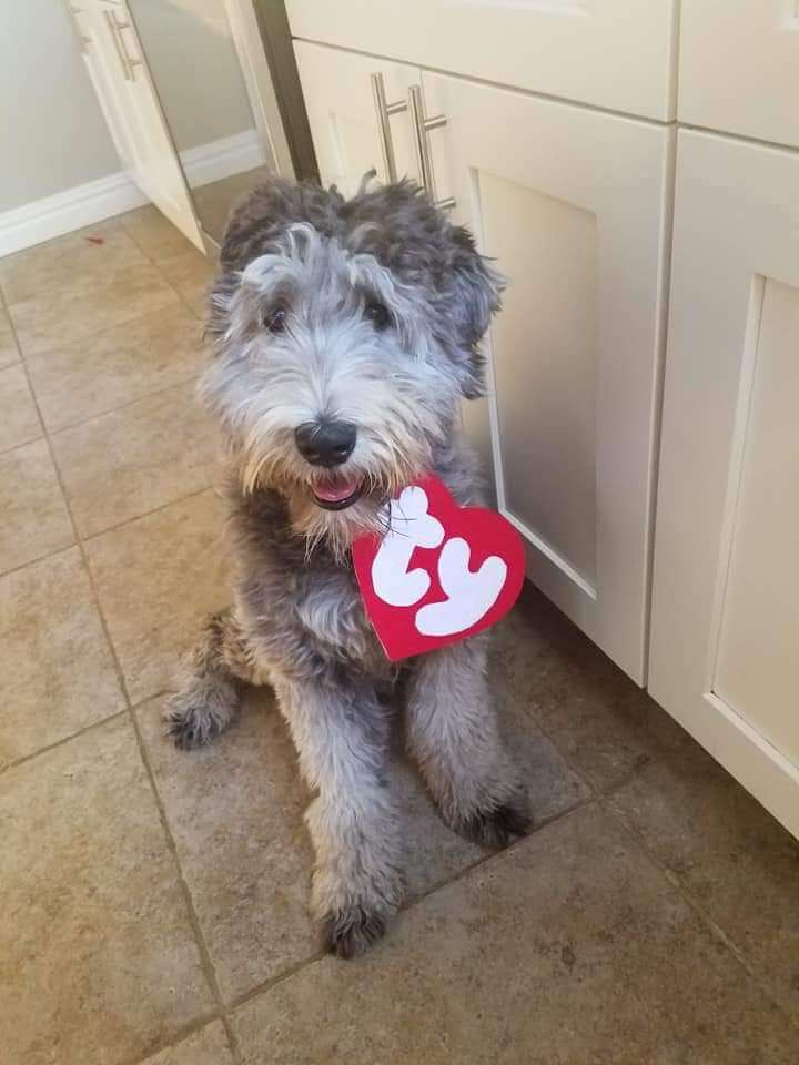 A grey whoodle with a TY beanie baby tag