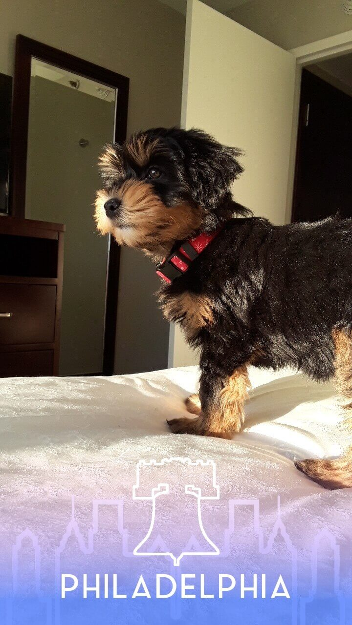 Liberty as a puppy standing on the bed