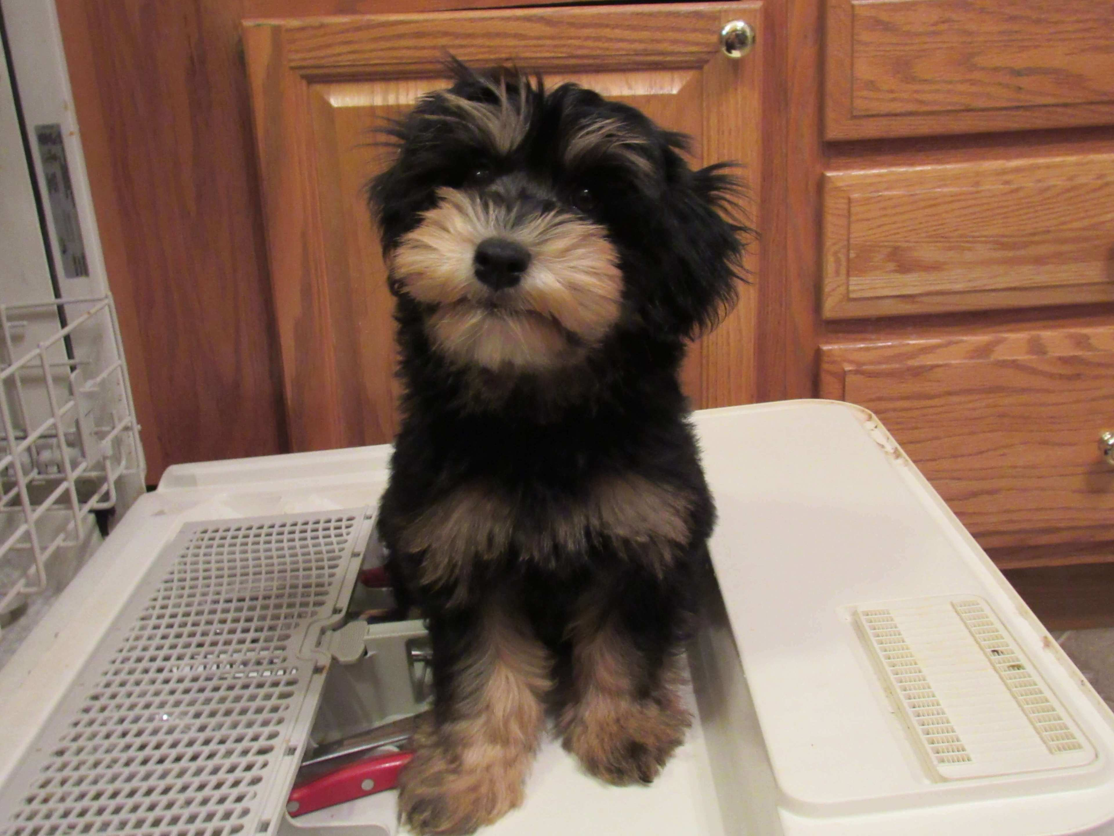 Liberty as a puppy sitting on the inside of an open dishwasher door