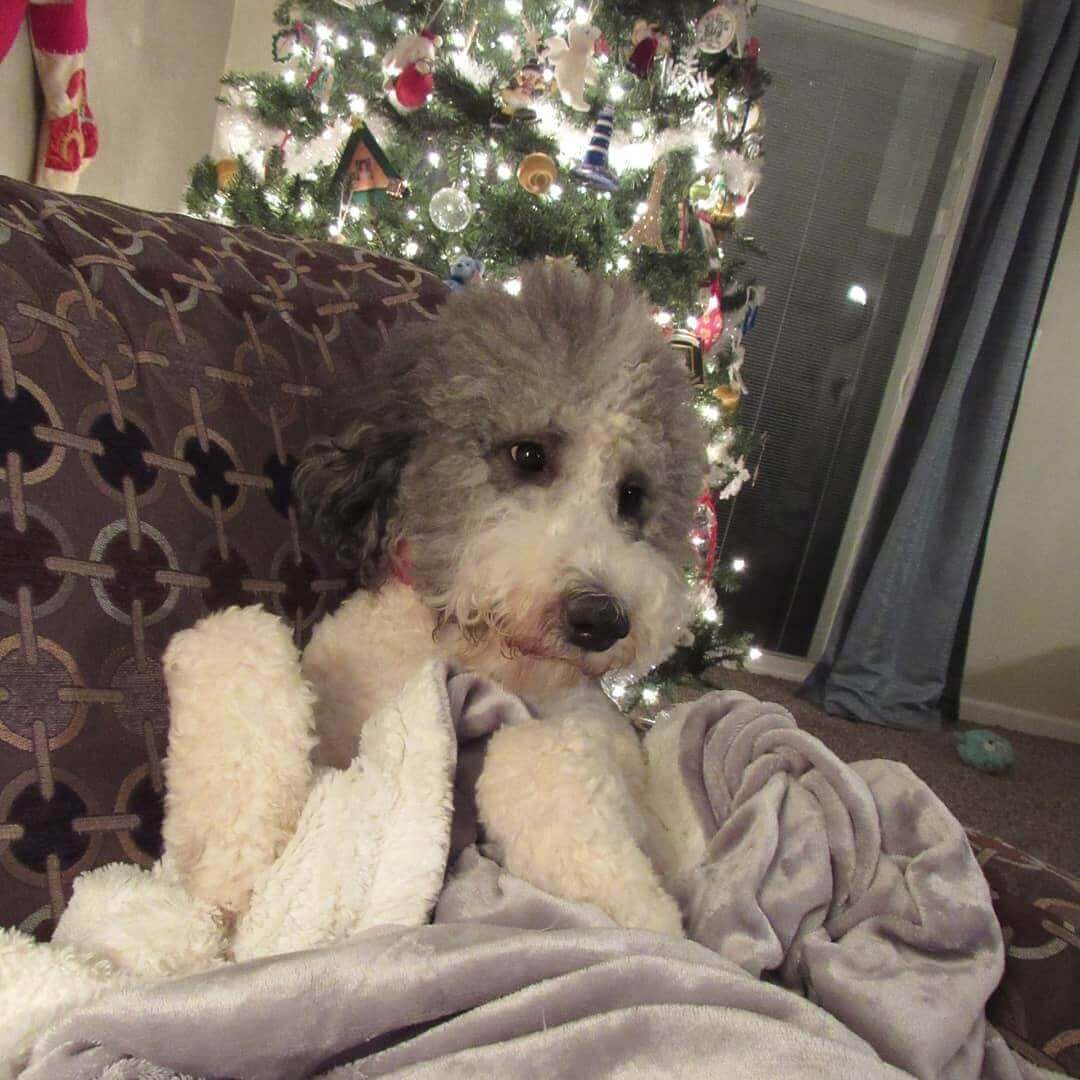 Madison cuddled with a blanket on the couch infront of a Christmas tree