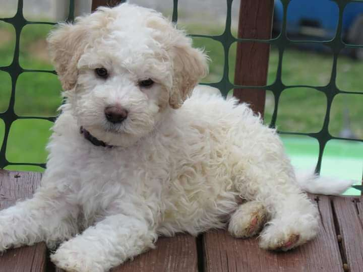 A white and tan whoodle puppy laying on the porch