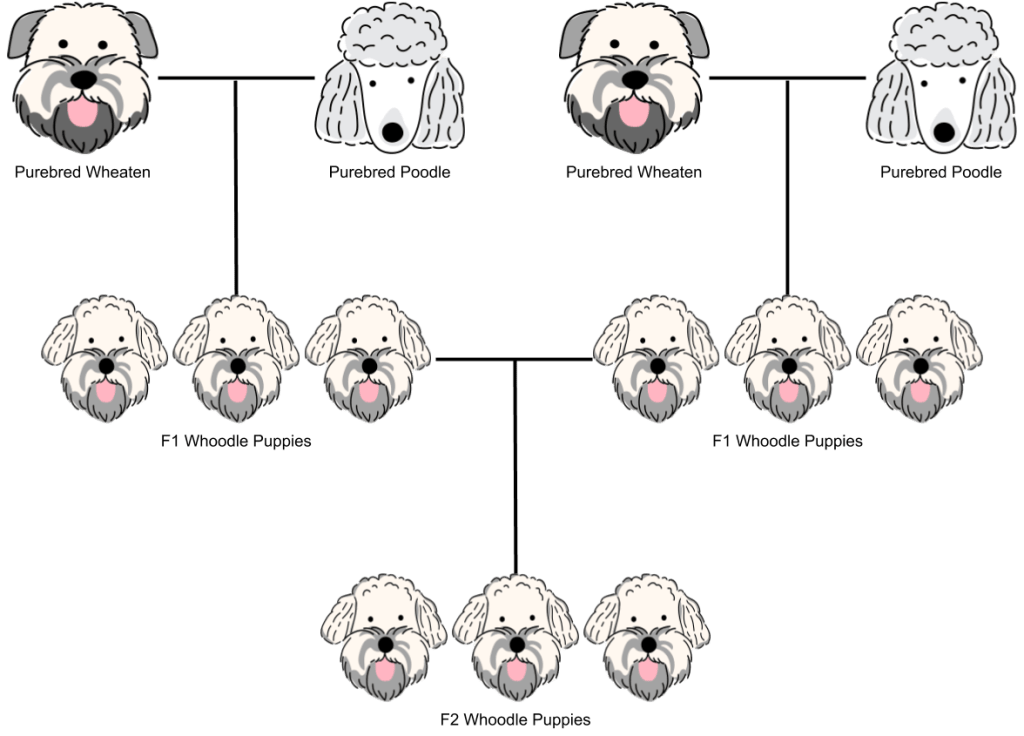An f2 generation whoodle breeding chart