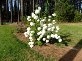 Snowball bush belonging to neighbor, Dora