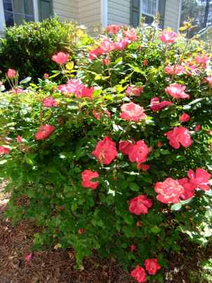 Double red knock out rose