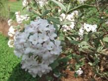 Viburnum snowball bush