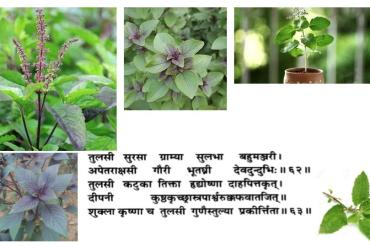 How to use tulsi the holy plant : indian basil?