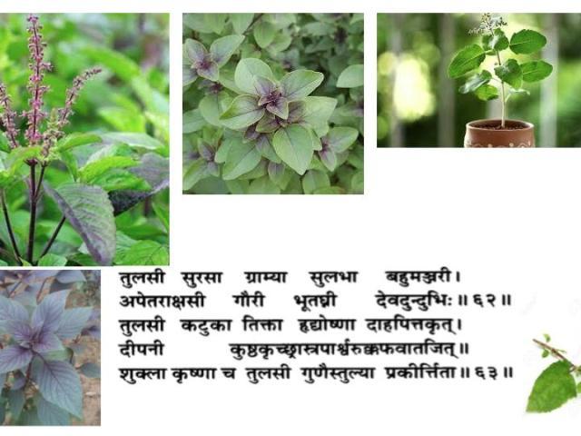 Tulsi-basilic-oscimum-sanctum ayurveda paris