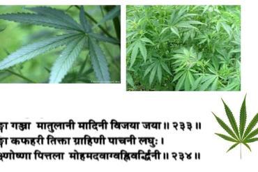 Comment comprendre Haritaki, le myrobalan chébulique.