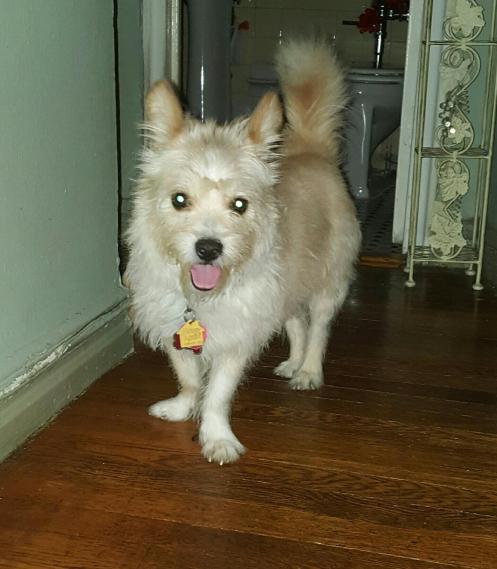 toby white terrier 1