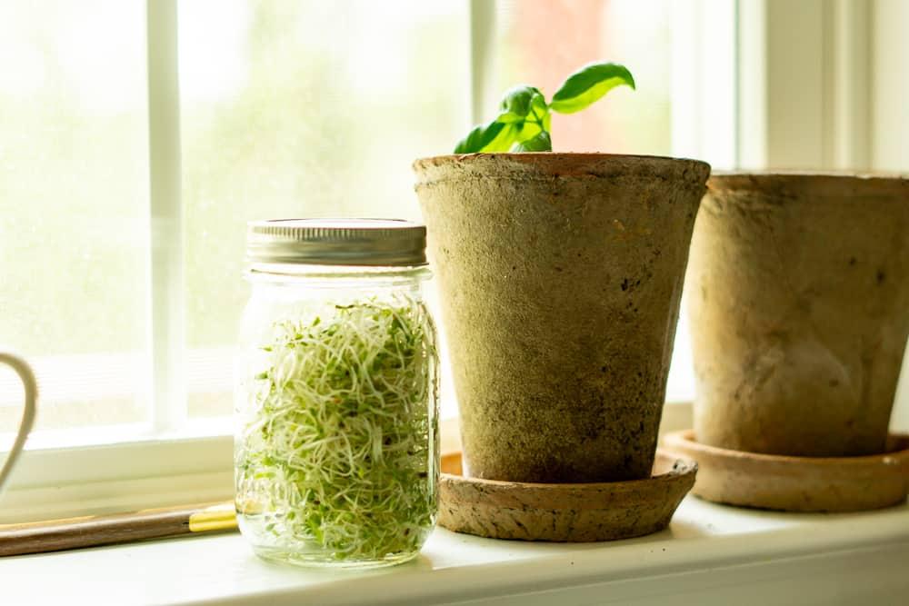 sprouts in mason jar on kitchen windowsill