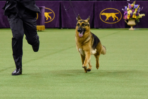 Rumor ~finally~ has it. This German shepherd beat out 2,800 other dogs Tuesday night to win the prestigious Best In Show at the 141st Westminster Dog Show.