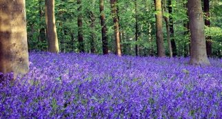 bluebell-wood-web.jpg?w=322&h=174&crop&ssl=1