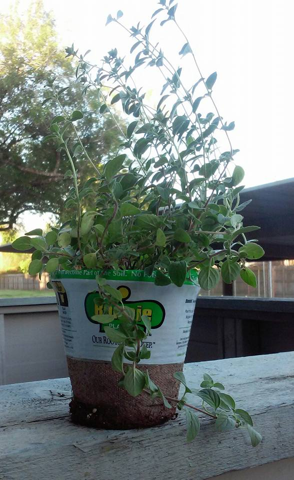 Fresh Oregano!