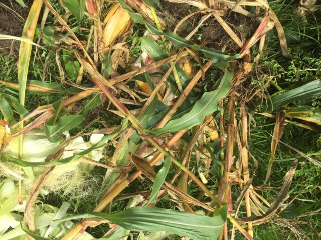 Corn stalks knocked over