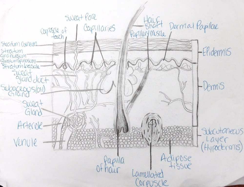 medium resolution of the integumentary system is an organ system consisting of the skin hair nails and exocrine glands the skin is only a few millimeters thick yet is by far