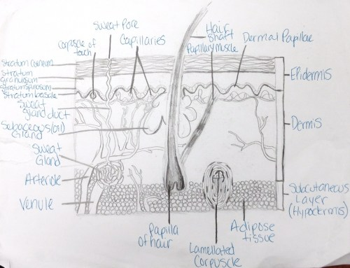 small resolution of the integumentary system is an organ system consisting of the skin hair nails and exocrine glands the skin is only a few millimeters thick yet is by far
