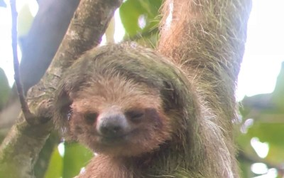 A Little Sloth Information
