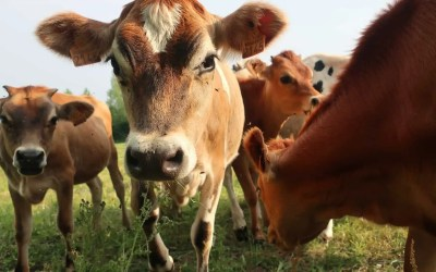 The Importance of Cows