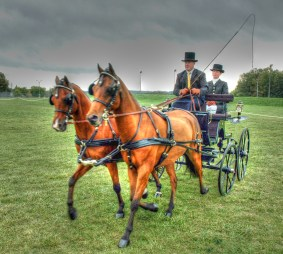 Pair put to a phaeton at the COPDA show
