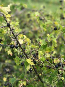 crandall currant berries