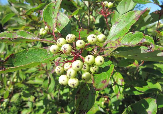 poison sumac with berries