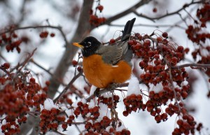 American Robin - puffing up in winter