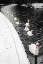 Swans in a row
